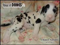 Chance is such a cute pup with great markings He comes