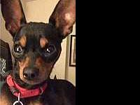 Chance: Approx. 2 yr old black & tan male, neutered,