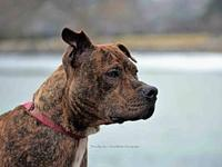Chance's story Meet our stunning brindle babe Chance,