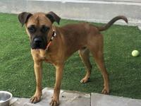 Chance is a 11 month old boxer mix ready to find his