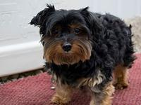 CHANDLER's story CHANDLER Male Neutered YORKIE Intake