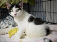 6 mnth Spayed Female Domestic Shorthair Black and White