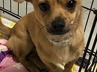 My story Chaplin is a seven month old Chiweenies that