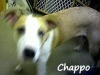CHAPPO is a 1 yr. old Cathoula Leopard Dog adopted from