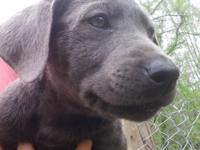 AkC charcoal male labrador ready now at 11 weeks Up to