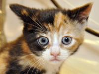 Chardonnay is an adorable calico that came to WOTNVR