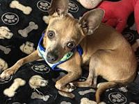 Charger's story Charger is a 1 to 2 year old chihuahua