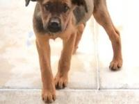Charisma is a Shepherd mix female puppy around 10 weeks