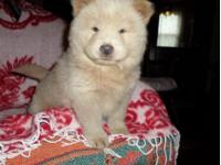 Charitable  Chow Chow puppies available to go now,Sweet