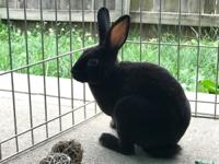 Charles is a super sweet black Mini Rex that is velvety