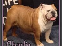 Charlie is a 5 year old beautiful red and white english