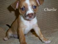 Hi, this is Charlie and he is a purebred Chihuahua