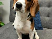 Meet Charlie! This handsome young Beagle boy is all