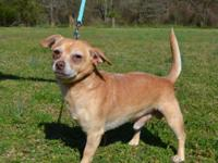 Charlie is an adorable 4-5 year old Chihuahua mix,
