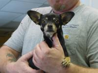 Charlie is a female Chihuahua, approx 5 years old. She