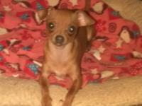 Charlie is a very protected chihuahua he is 1 yr old,