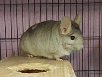 Meet Charlie Chin - a handsome chinchilla who cant wait