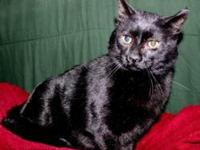 FOSTER CARE NEEDED  Domestic short hair, black male