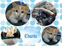 Charlie's story Charlie...am one of the three kittens
