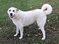 CHARLIE's story Charlie is a 3 year old Great Pyr mix