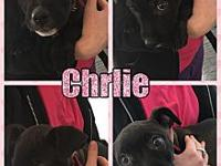 Charlie's story Charlie is a 8 week old lab mix. she is