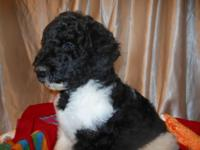 Black and white tuxedo male. Very good-looking!!! AKC