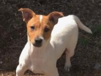 Charlie Brown is a precious male Rat Terrier mix who is