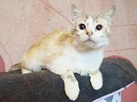 *CHARLOTTE's story Beautiful lynx point Siamese kitty