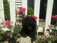 8 week old AKC male toy Poodle puppy dewclawed, tail