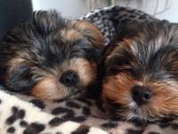 Our puppies come from a Yorkshire Terrier Mom that