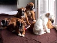 Charming Boxer puppies ready July 18th at 12 weeks old.