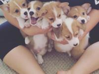 Pembroke welsh corgi puppies available for sale now at
