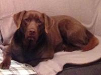 Duke Beautiful Male Labrador Retriever For Adoption in