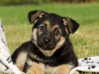 charming German Shepherd Puppies Male And Female..Only