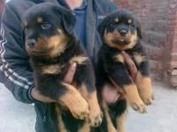 Animal Type: Dogs Breed: Rottweiler We are not