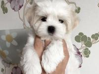 Home Raised Teacup Maltese puppies for
