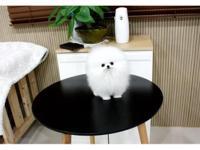 Adorable,Amazing,Gorgeous Micro Teacup Pomeranian
