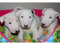 Animal Type: Dogs Breed: Bull Terrier Very smart and