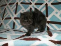 amazingly sweet, cute and fun little Torti girl ready