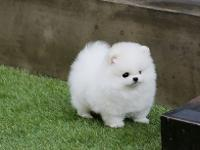 Charming male and female Teacup Pomeranian puppies for