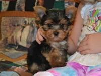 Our teacup Yorkie pups have an excellent health
