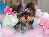We have a litter of beautiful Yorkie puppies available.