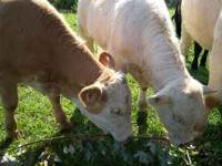 4 year old Charolais Bull, good nature, good breeder,