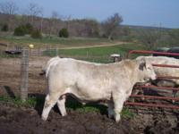 for sale yearling charolais Bulls,calm disposition,easy