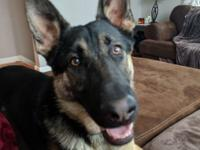 Chase is a 10 month old, handsome German Shepherd boy.