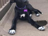 CHASE4 month old male lab/hound mix, good with