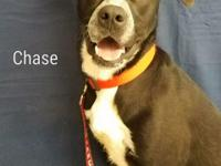 Hello! My name is Chase and I am a 1 year old Lab/Boxer