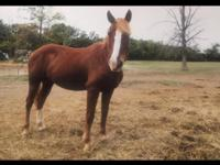 Chase is a 1997, 14.3 mustang gelding. He came to us
