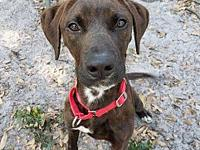 Chase's story Chase is a sweet 1 year old Plott Hound /