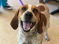 chase's story chase male 1-2 years redbone coonhound